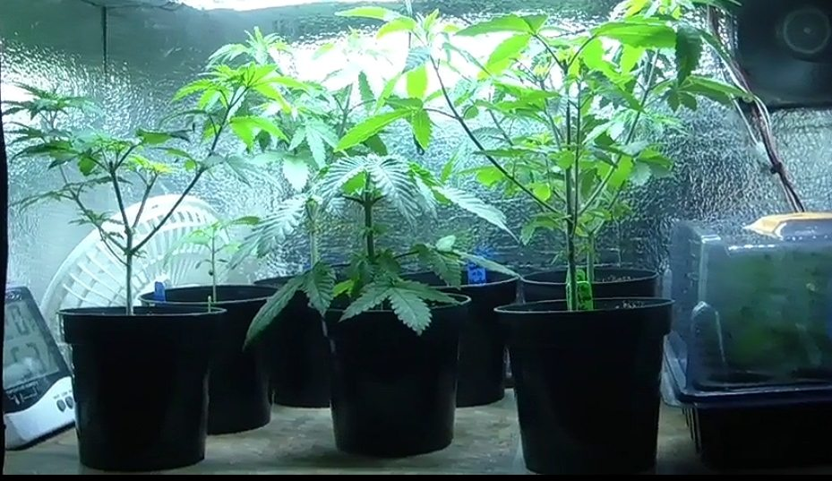 Checking on clones of Love Potion 99 / Jawa Pie from Ocean Grown Seeds